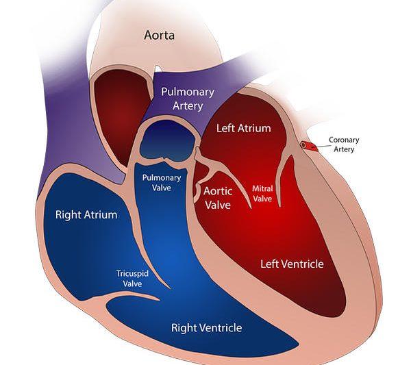 3. Cuáles son y para qué sirven las válvulas del corazón
