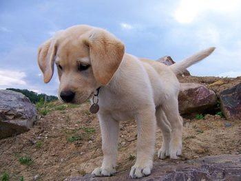 perro-cardiosaludable